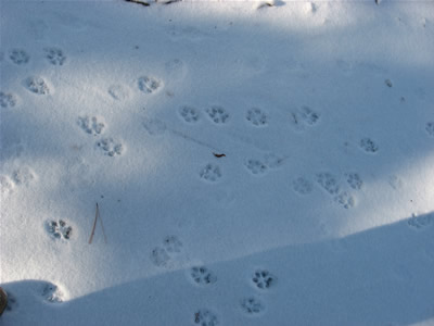 Animal Tracks in Snow: Dog Paws