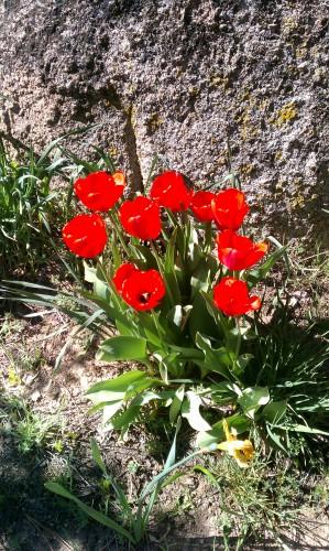 Tulips in Fawnskin