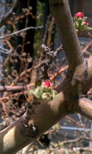 Apple Tree Blossoms Fawnskin
