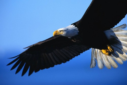 Bald Eagle Count Big Bear Lake