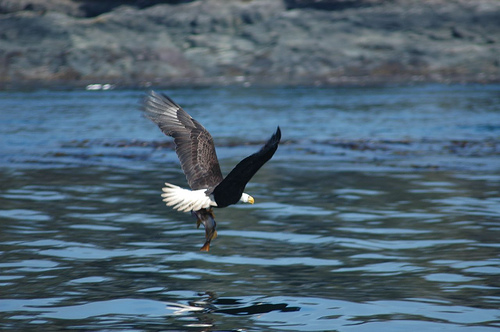 Bald Eagles | Mountain Lake Resort News