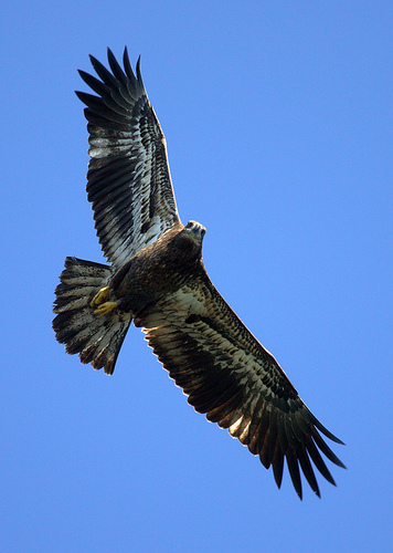 Jack Bald Eagle Takes Flight
