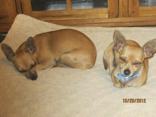 Found Chihuahuas