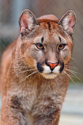Cougar Fawnskin