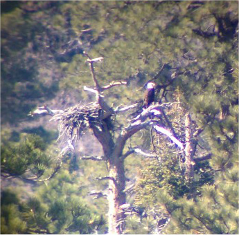 Bald Eagle Nest | Fawnskin Flyer