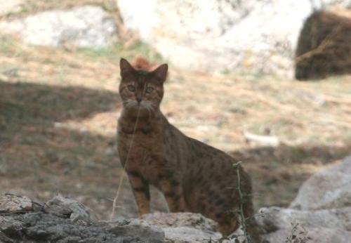 Fawnskin Cat