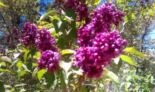 Lilacs in Fawnskin