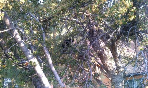 Rare Fawnskin Tree Kitten