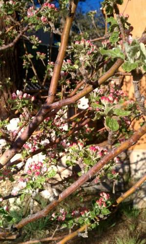 Apple Blossoms Fawnskin