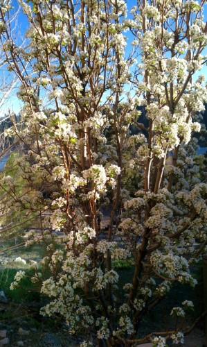 Pear Blossoms Fawnskin