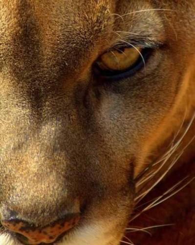 Mountain Lion - Cougar - Puma