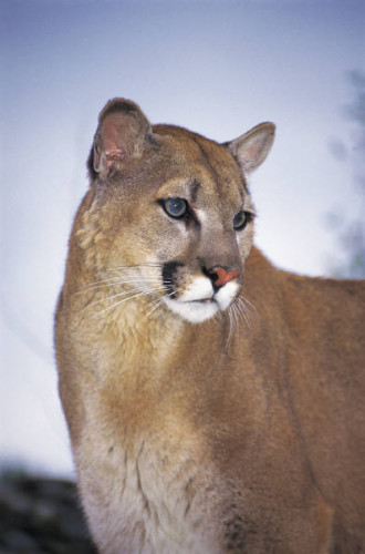 Mountain Lion Fawnskin